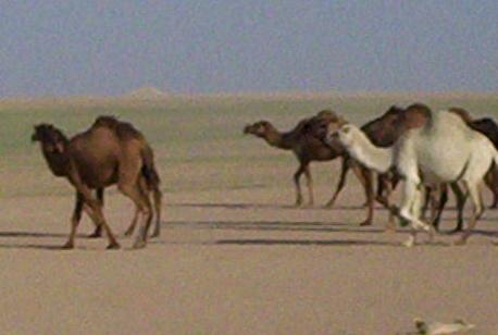 Photograph of camels in Iraq, taken by an American soldier of C Co, 1/252 Army Reserve Battalion . Logo for the M203.com presentation entitled Critters.