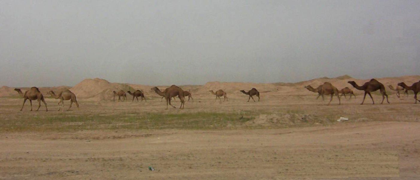 Photograph of a herd of camels in the desert of Iraq. Photograph by an American soldier of C Co, 1/252 Army Reserve Battalion.